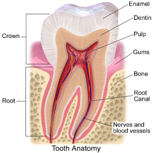Tooth Diagram Showing Where Enamel Is