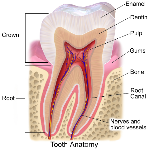 Weird Facts Tooth Diagram